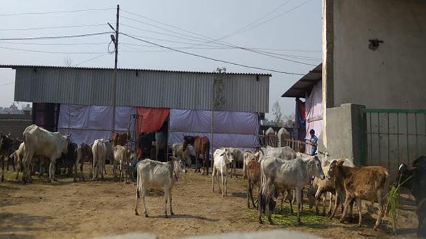 ग्रेटर नोएडा, ग्रेटर नोएडा में पशु चोरी करने आए बदमाशों को ग्रामीणों ने घेरा, बचाव में की फायरिंग, दो की मौत