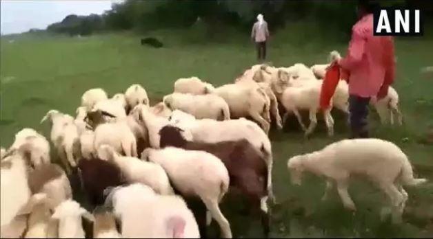 Gorakhpur crime, बीवी के बदले 71 भेड़ें पाने वाला रह गया हैरान, पुलिस ने चोरी के आरोप में भेजा जेल