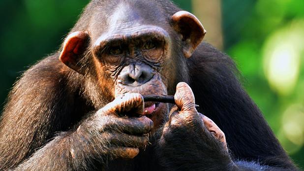Chimpanzees, जांच एजेंसी ED ने पहली बार किसी केस में जानवरों को किया अटैच