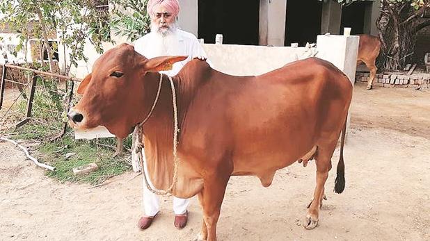 साहीवाल, इस गाय के लिए पंजाब के किसान को मिले सवा दो लाख रुपये, ऐसा क्या है खास?