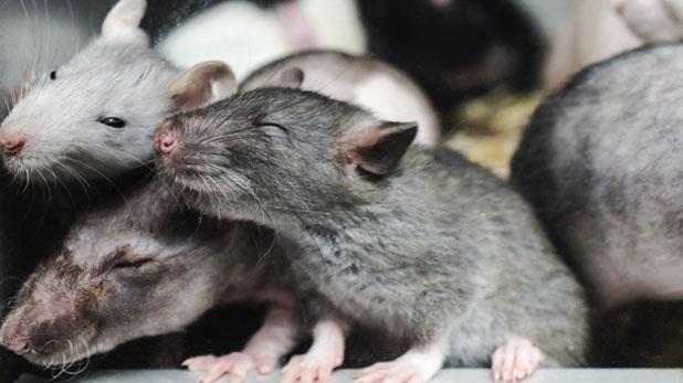 चूहों, 300 से ज्यादा चूहों के साथ वैन में रहती थी महिला, दरवाजा खुला तो…