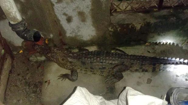 crocodile in bathroom, गुजरात: बाथरूम में निकला चार फुट लंबा मगरमच्छ, पकड़ने में रेस्क्यू टीम को लगा एक घंटा