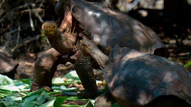 Tortoise with species saving sex drive returns to Galápagos, मिलिए 100 साल के प्लेबॉय कछुए से, बन चुका है 800 का बाप