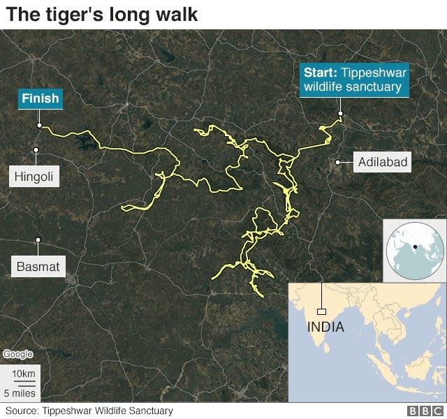 corona virus latest, कोरोना से डरकर घरों में कैद हुए इंसान पर बेखौफ बाघ बाघिन से मिलने पहुंचा 2,000 किमी दूर
