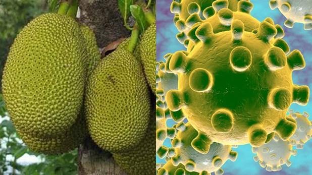 kerala Jackfruit falls, कटहल गिरने से सिर पर लगी चोट, हॉस्पिटल में जांच हुई तो निकला Coronavirus Positive