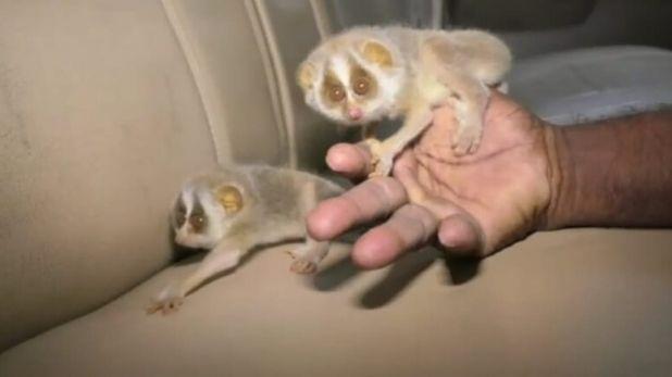 rare species of cat in forest of Andhra Pradesh, आंध्र प्रदेश: तिरुमला के शेषाचलम जंगलों में दिखे दुर्लभ प्रजाति की बिल्ली के बच्चे