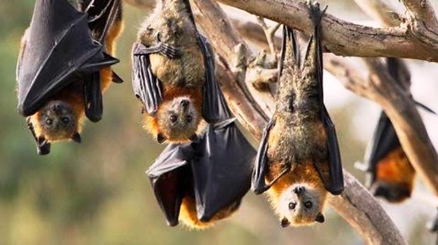 Bat killing is an offense, Coronavirus: राजस्थान में चमगादड़ों को भगाना या मारना कानूनी अपराध