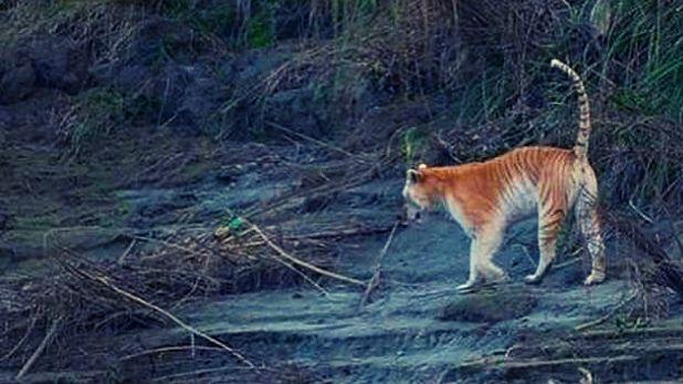 golden tiger pictures, सोशल मीडिया पर वायरल गोल्डन टाइगर की तस्वीरें, भारत में सिर्फ एक बाघ है ऐसा