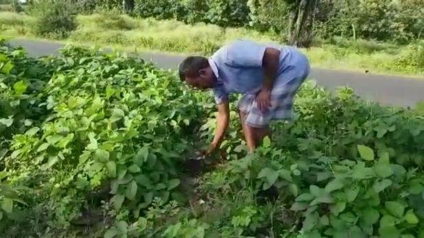 Betul farmer put soybean cultivation on dividers, MP: फोरलेन हाइवे के बीचों-बीच लहलहा रही फसल, किसान ने डिवाइडर पर कर डाली सोयाबीन की खेती