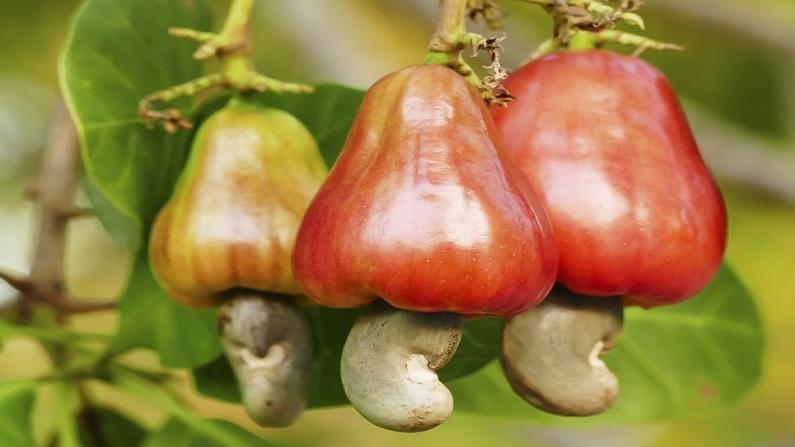 Feni Cashew Apple
